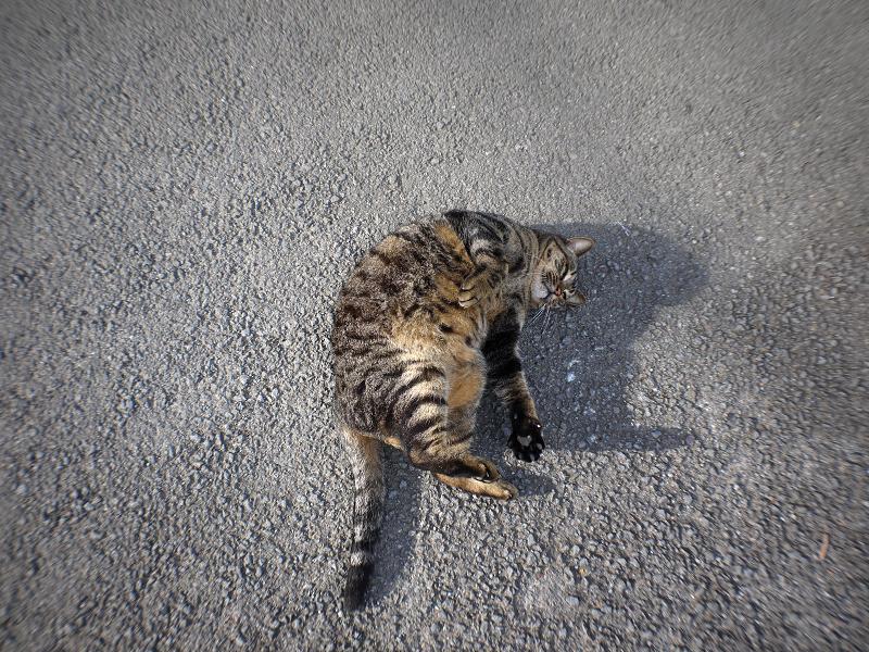 青空の下路地で転がるデカイキジトラ猫3