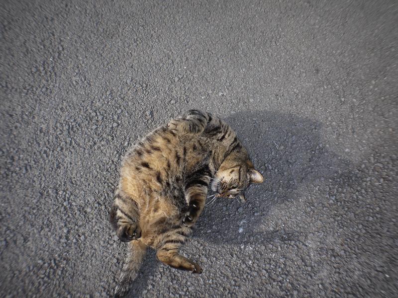 青空の下路地で転がるデカイキジトラ猫8