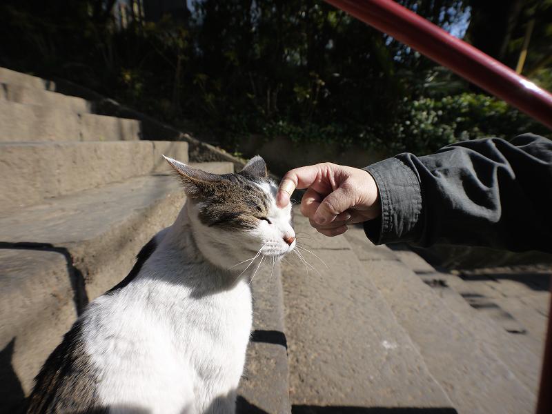 古い階段のキジ白猫1