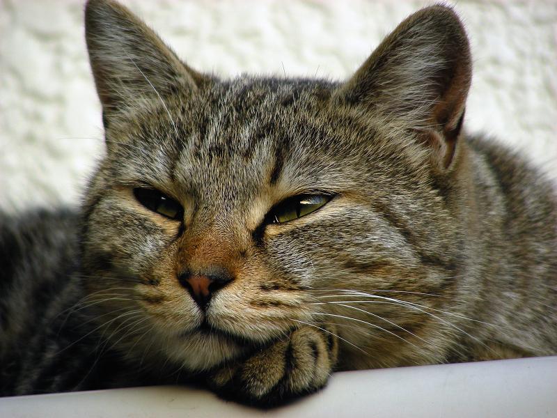 民家玄関室外機の上のキジトラ猫3