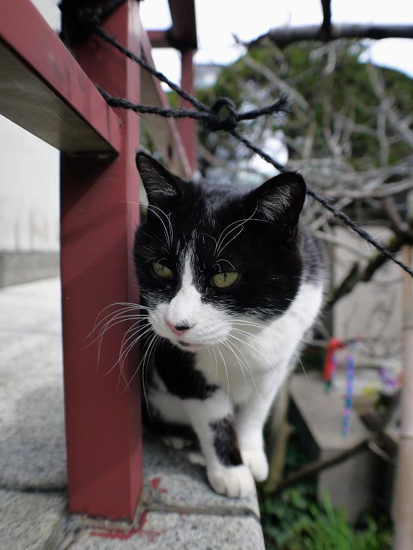 お堂の赤い手すりと黒白猫3