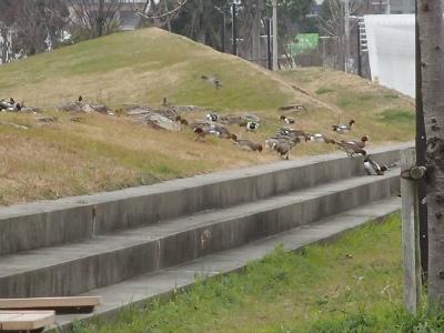 公園に上がったヒドリガモ