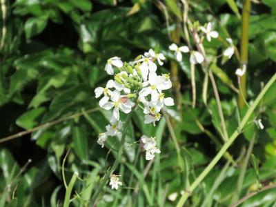 3 ハマダイコンの花