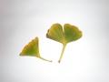 イチョウの葉②