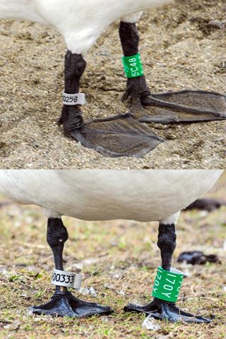 脚環 成鳥時装着 c480