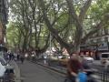 街中のプラタナス並木1
