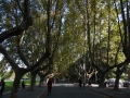 南京農業大学内プラタナス並木