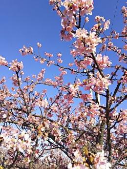 2017年2月集会所の庭に咲く河津桜