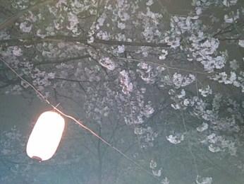 風の中でゆれるちょうちんと桜