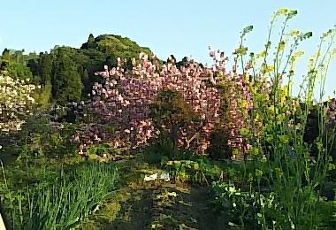 動物病院の途中で見つけた美しい八重桜