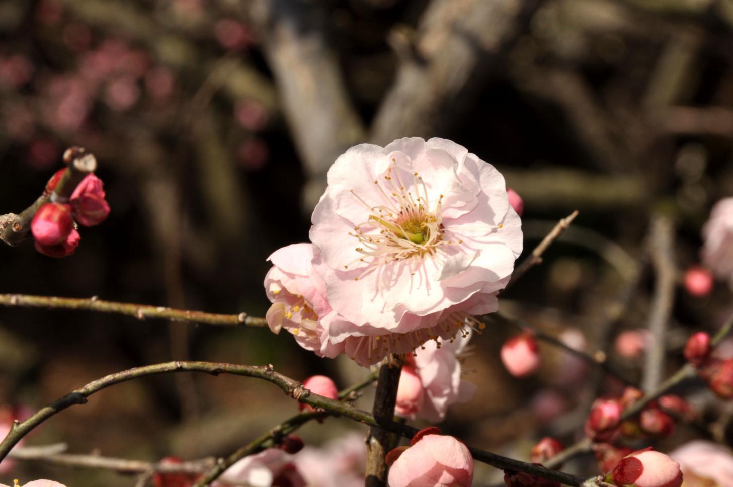 ④ピンク色の梅一輪