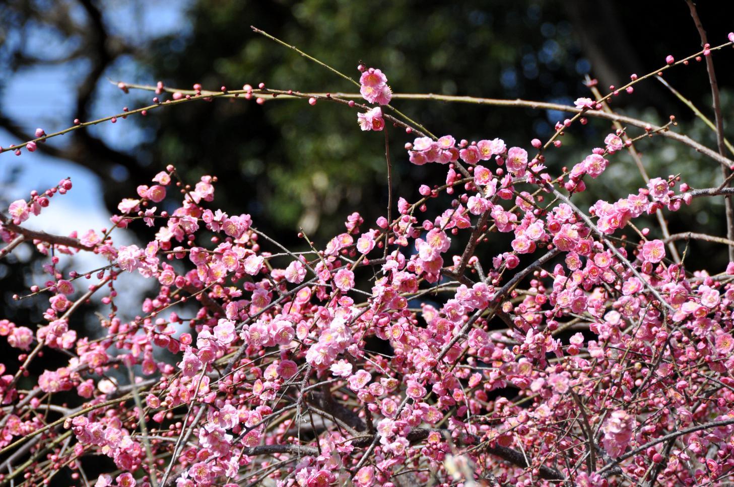 ⑤紅色の枝垂れ梅