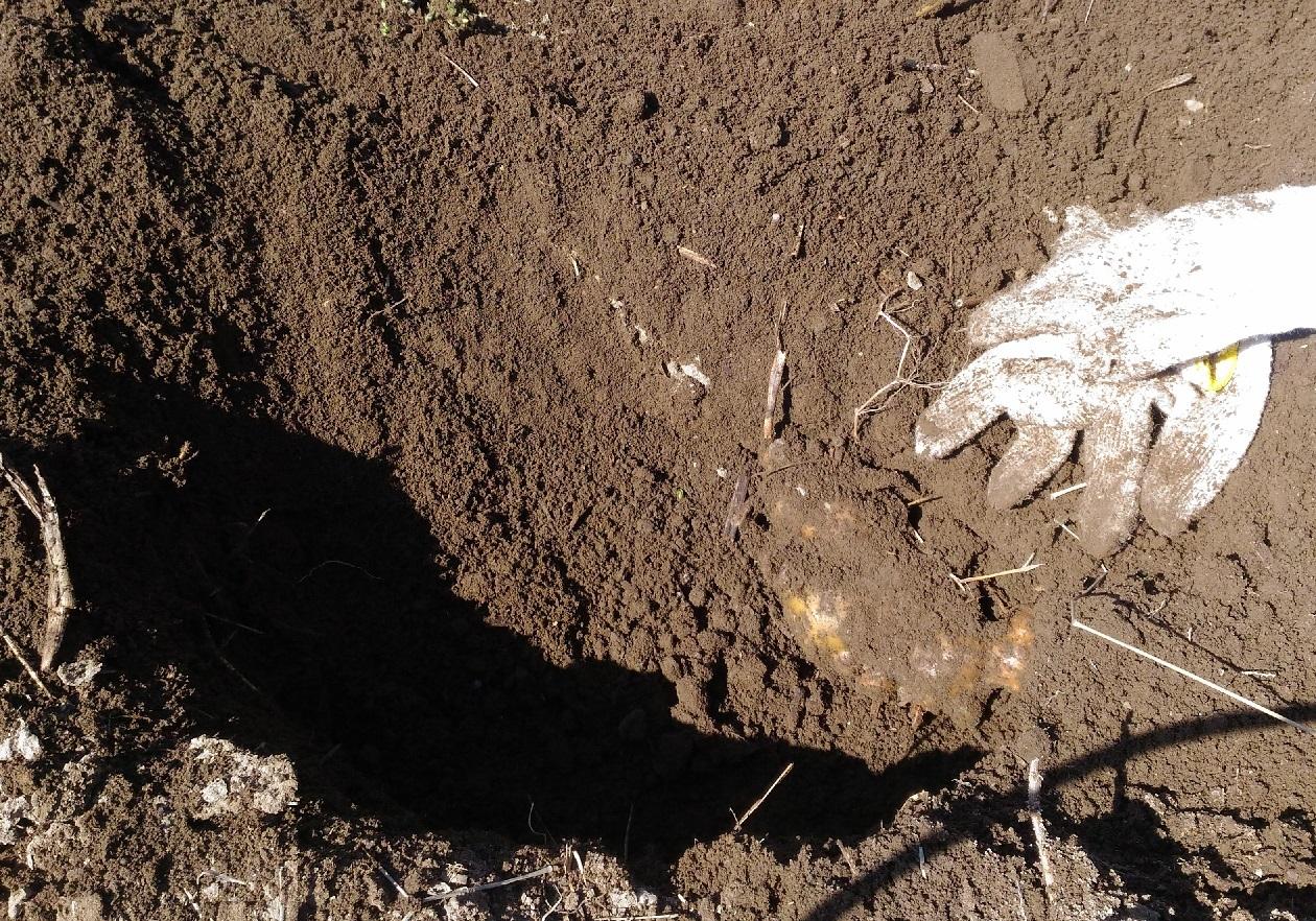 土中保存の生姜を掘り出す