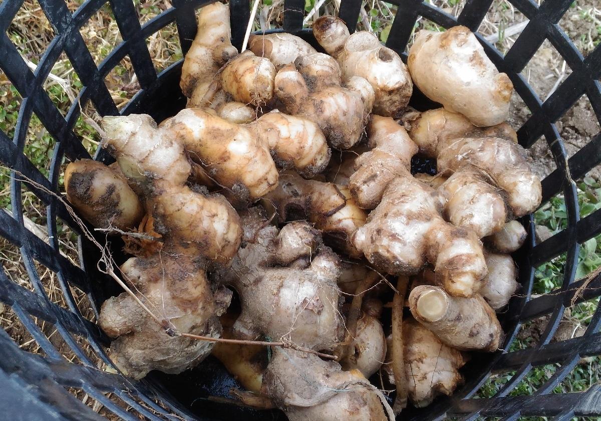 土中保存から掘り出した生姜