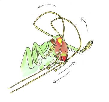 触角抜くヒノマル幼虫