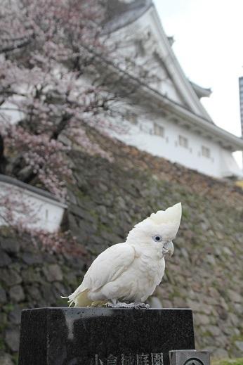 小倉城 2017-4-2-10