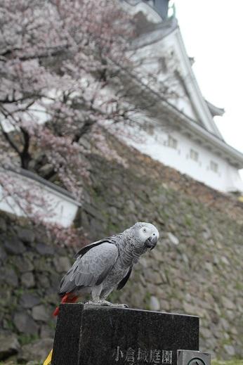 小倉城 2017-4-2-11