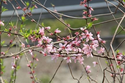 桜1 2017-4-12-1