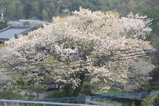 桜1 2017-4-12-2