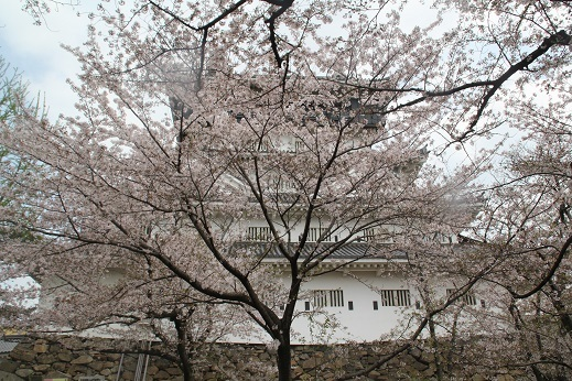 桜1 2017-4-12-8