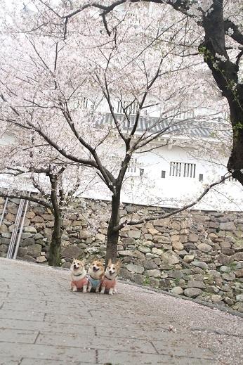 桜1 2017-4-12-9
