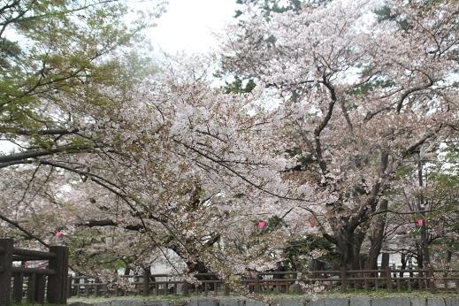 桜1 2017-4-12-11