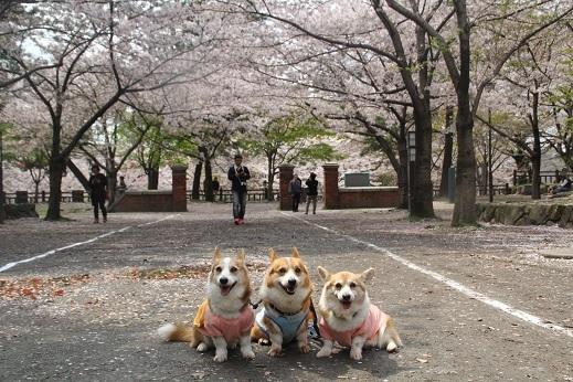 桜2 2017-4-12-1