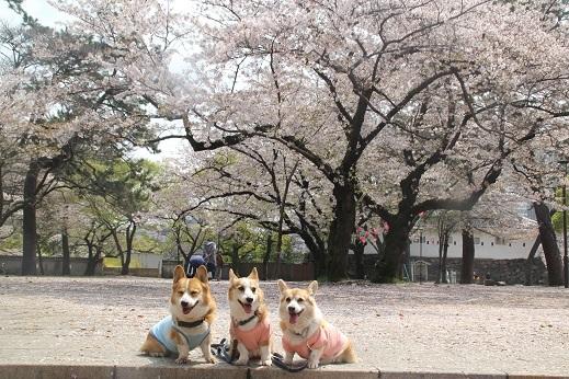 桜2 2017-4-12-3