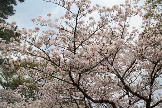 桜2 2017-4-12-5
