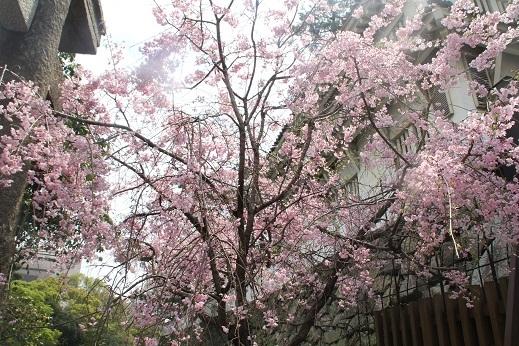 桜2 2017-4-12-6