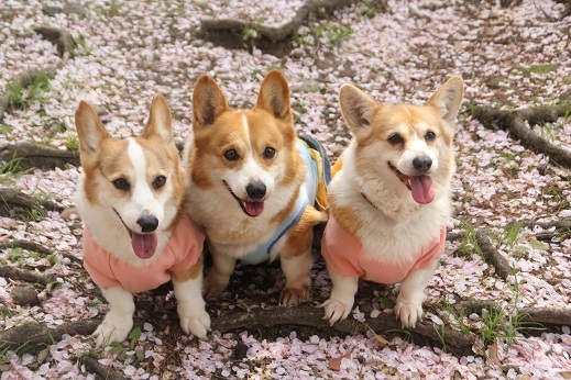 桜2 2017-4-12-10