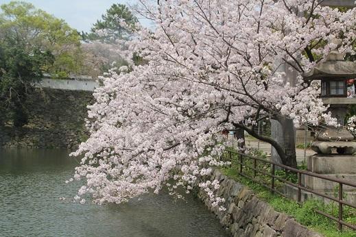 桜3 2017-4-12-1