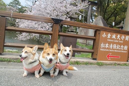 桜3 2017-4-12-2