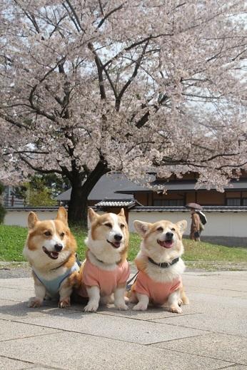 桜3 2017-4-12-6