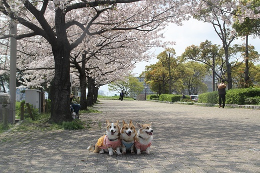 桜3 2017-4-12-8