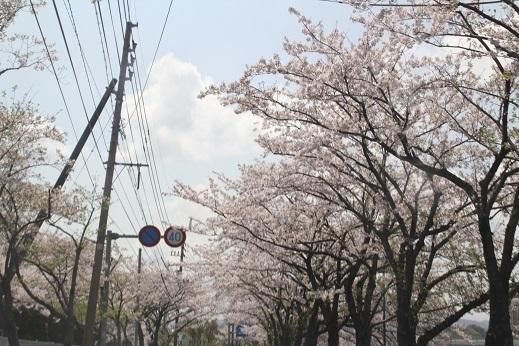 桜3 2017-4-12-11