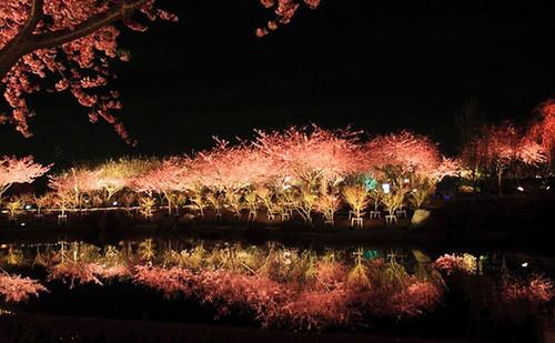 kawazu-cherry-blossoms-shizuoka-japan-1.jpg