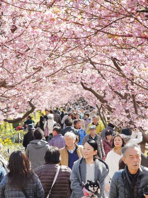 kawazu-cherry-blossoms-shizuoka-japan-13.jpg