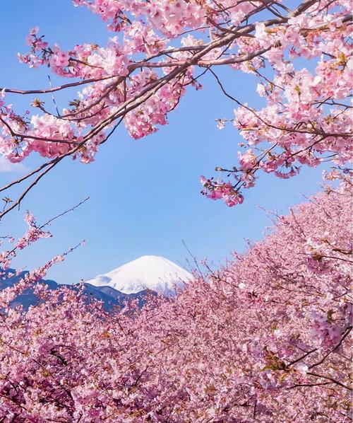 kawazu-cherry-blossoms-shizuoka-japan-16.jpg