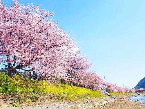 kawazu-cherry-blossoms-shizuoka-japan-2.jpg