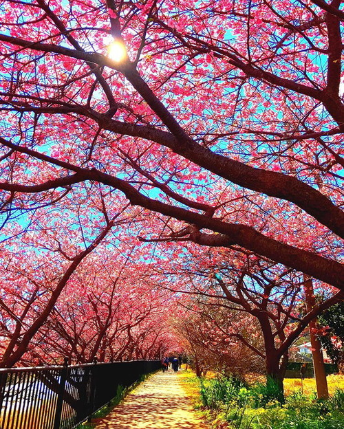 kawazu-cherry-blossoms-shizuoka-japan-3.jpg