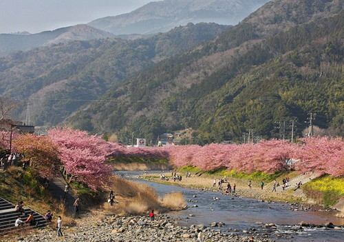 kawazu-cherry-blossoms-shizuoka-japan-5.jpg