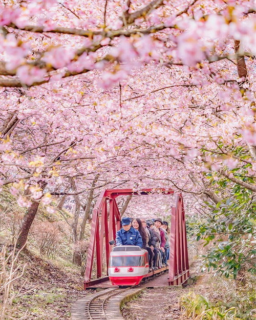 kawazu-cherry-blossoms-shizuoka-japan-8.jpg