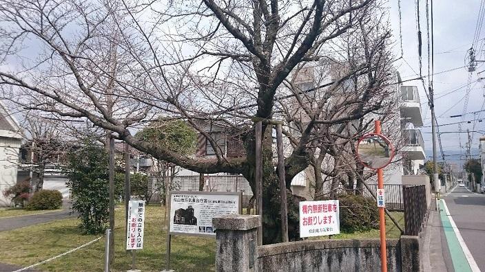 旧松山気象台桜