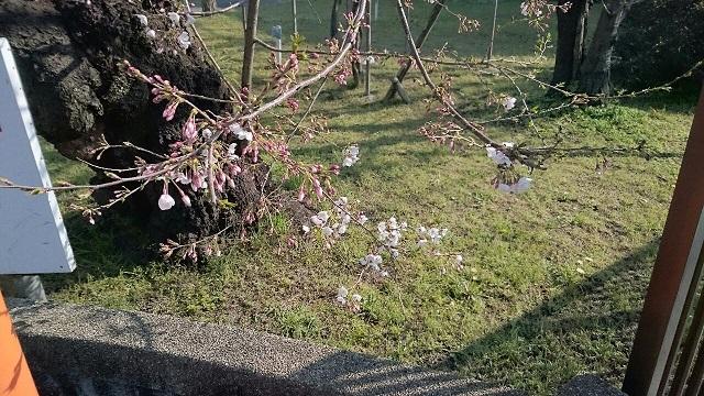 20170404桜情報UP