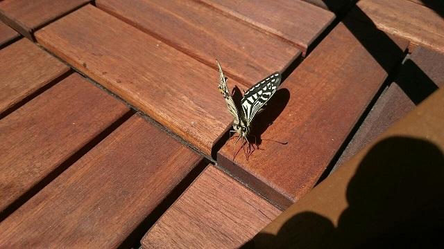 ベランダに蝶が舞い降りた