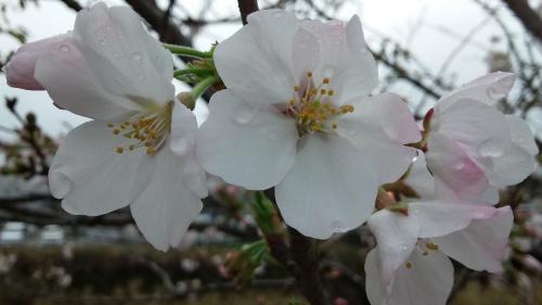 '17桜①