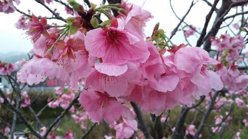 '17桜②