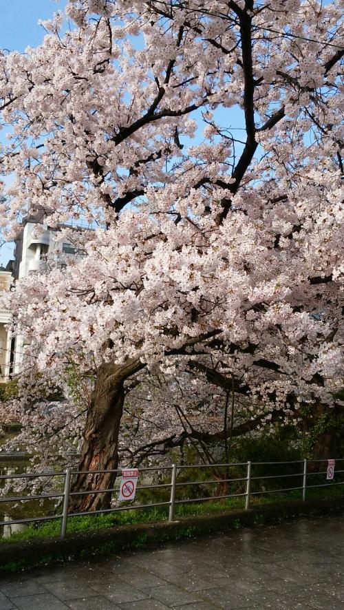 '17桜③