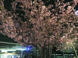 河津桜_001